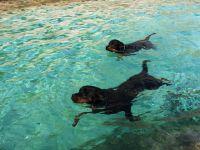 plavanie_psov_rotvajler_more
